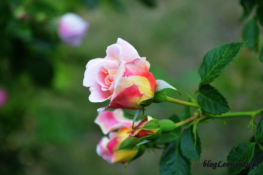 róże -compassion (2)