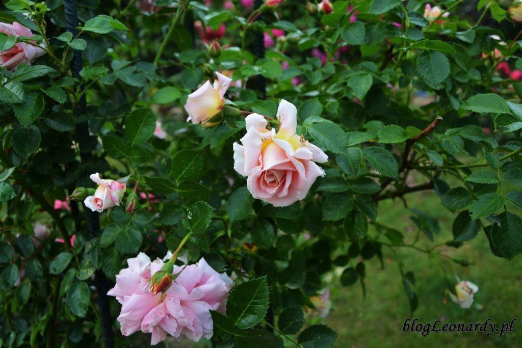 róże -compassion kwiat