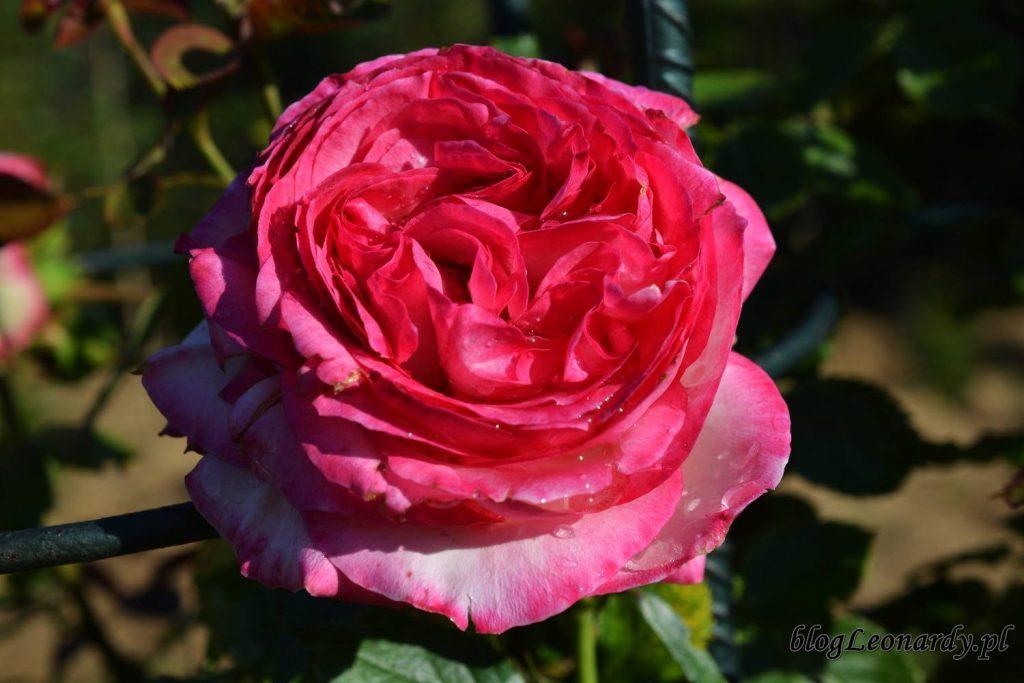 róże -eden rose 85
