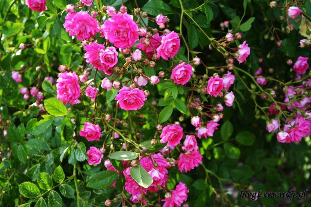 róże -kwiatostan super dorothy