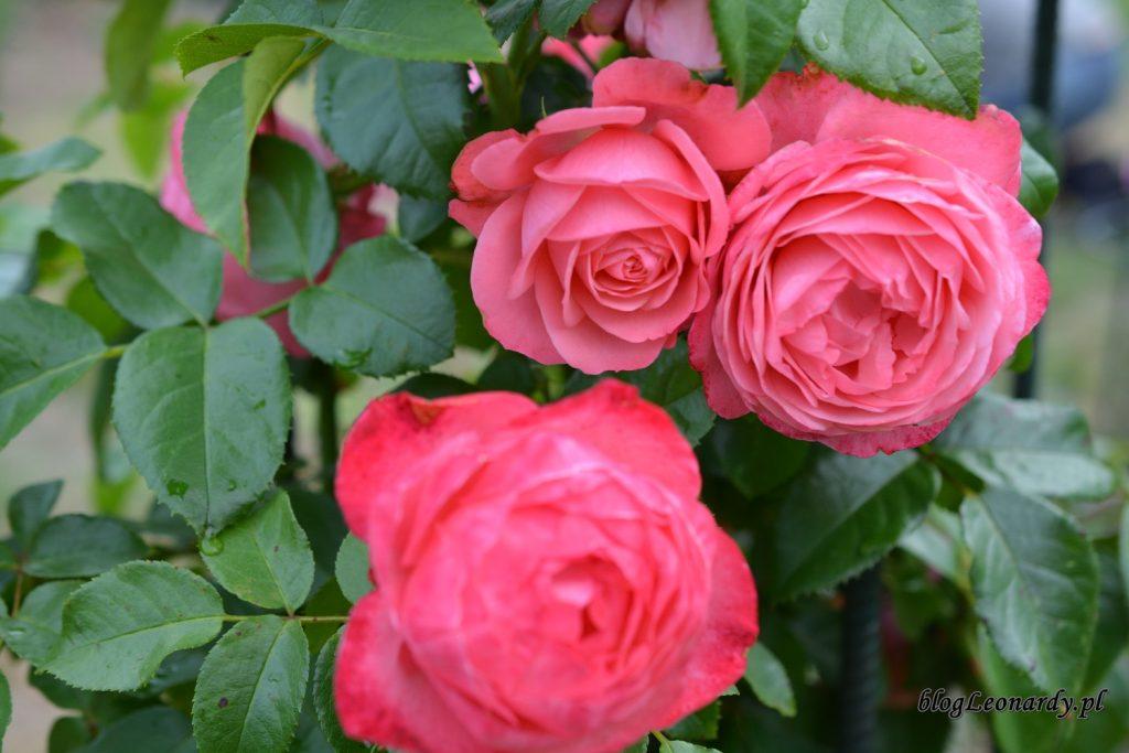 28 tydzień rosanna kwiaty