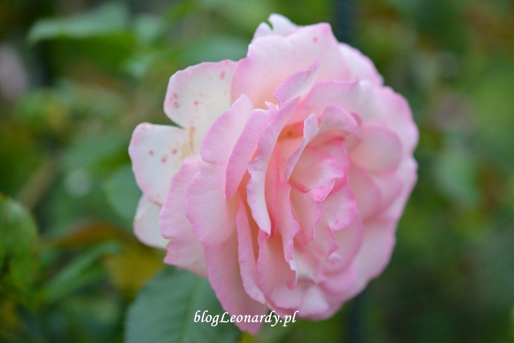 29 tydzień eden rose 85