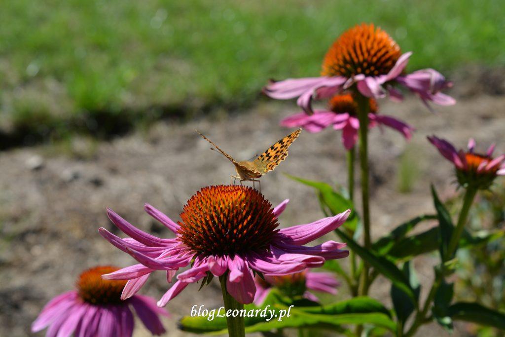 29 tydzień jeżówka z motylem