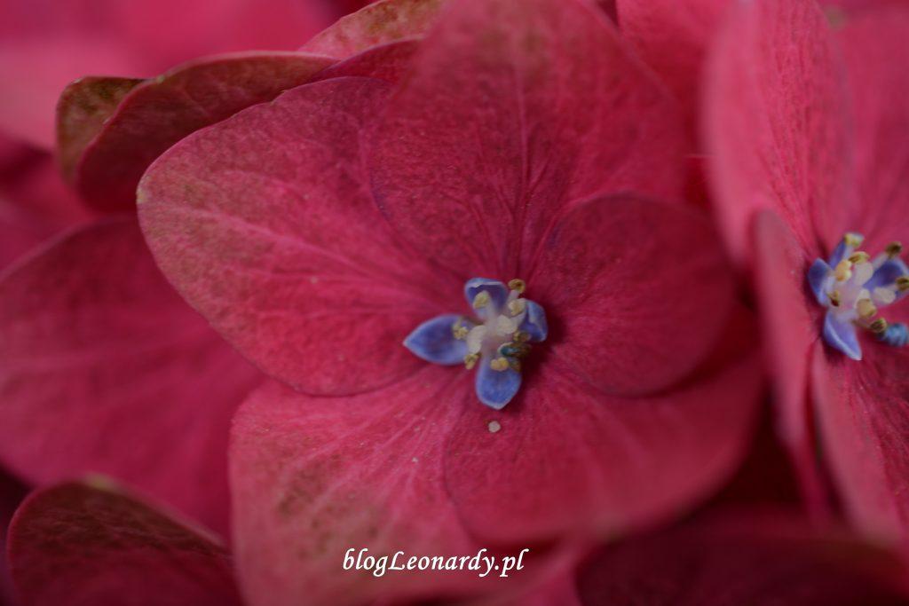 30 tydzień kwiat hortensji red hot