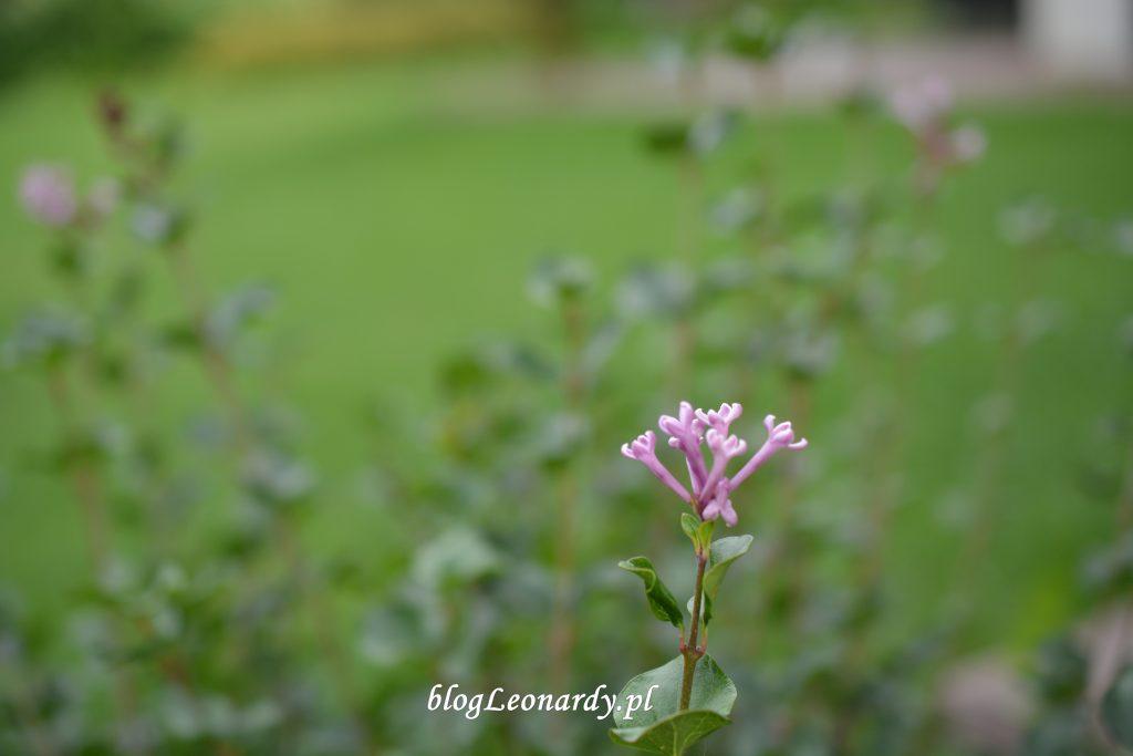 30 tydzień palibin kwiat