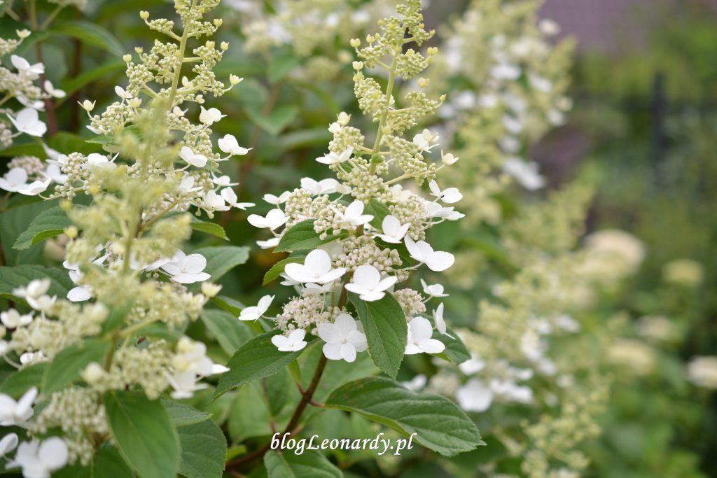 30 tydzień tardiva kwiatostan
