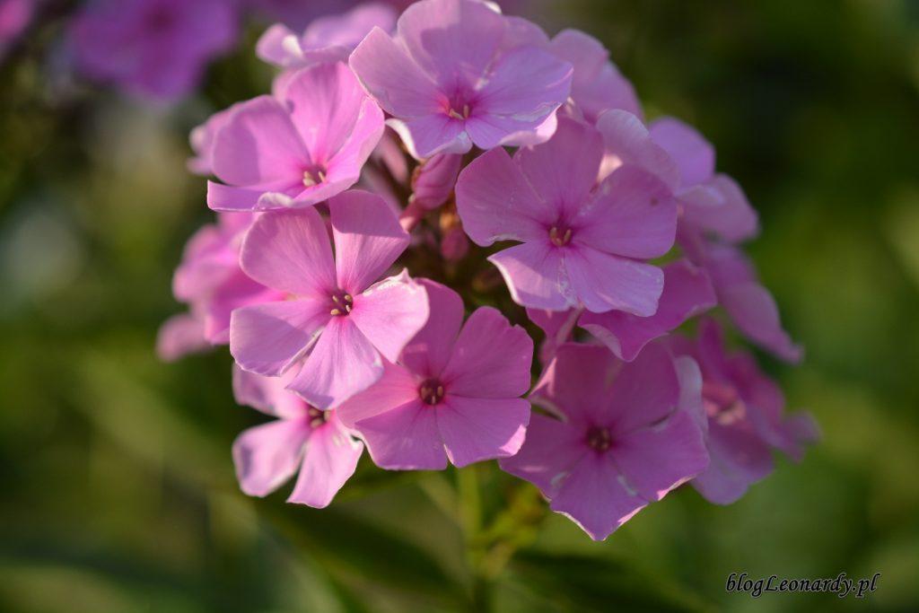 floks różowy