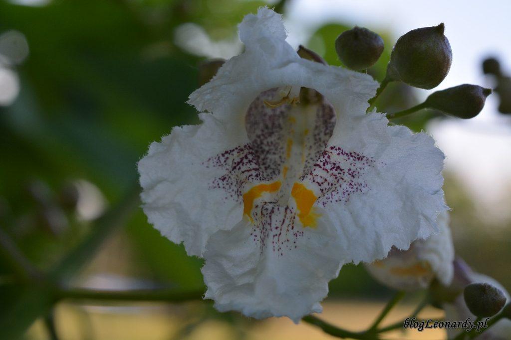 katalpa wnętrze kwiatu