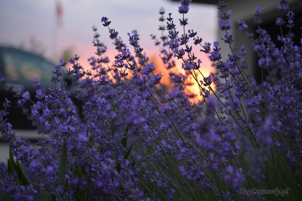 lawenda i zachód słońca