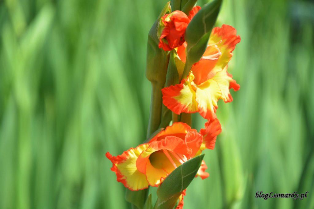 piękne gladiole