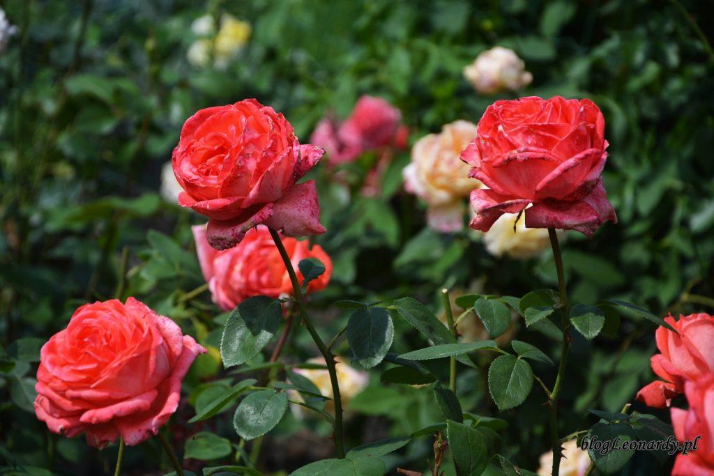 przekwitające róże