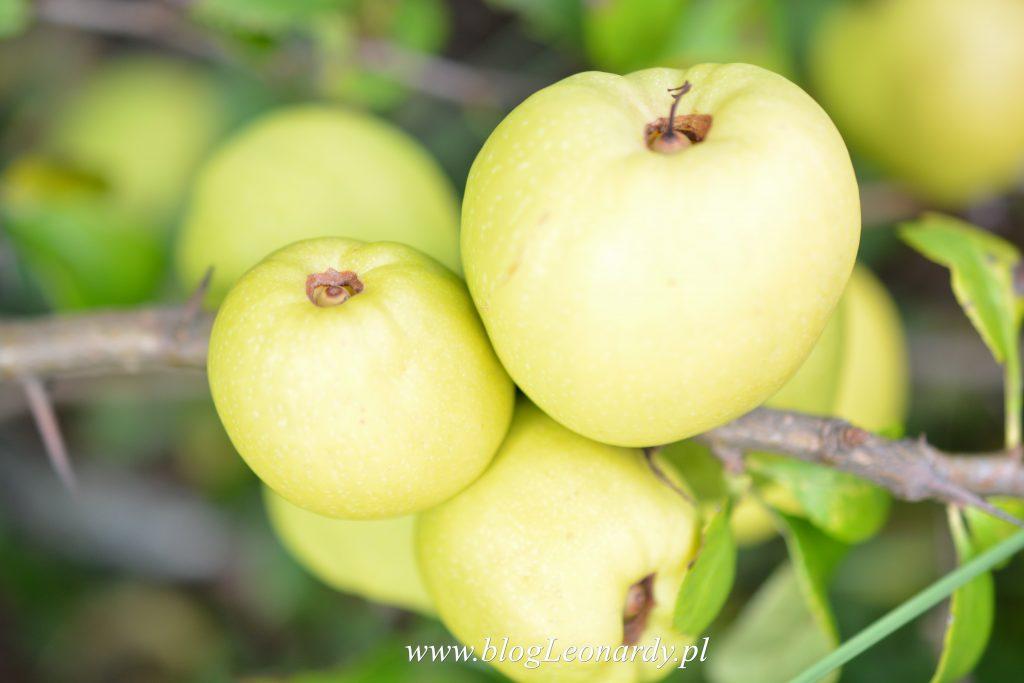 34 tydzień pigwowiec owoc