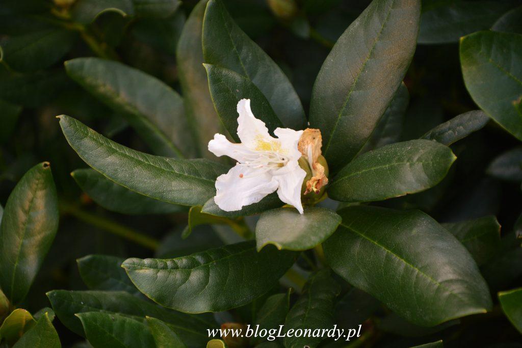 34 tydzień rododendron