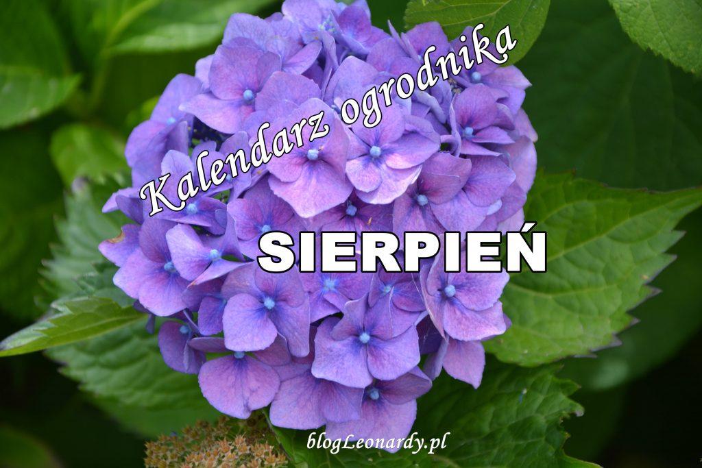 kalendarz ogrodnika sierpień - niebieska hortensja