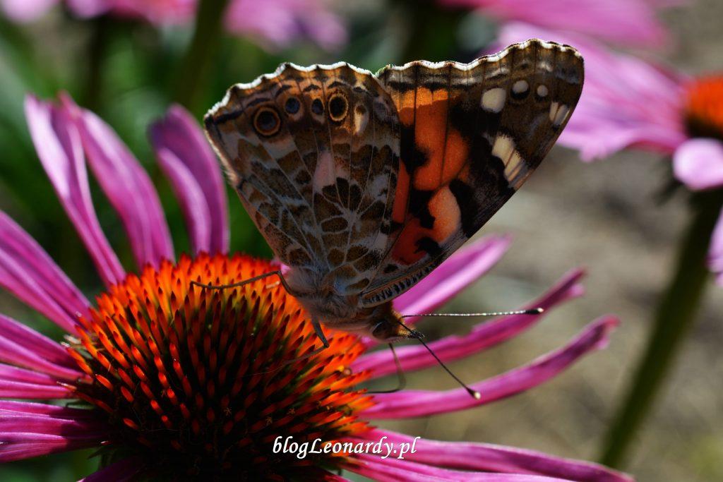 osetnik nektarujący