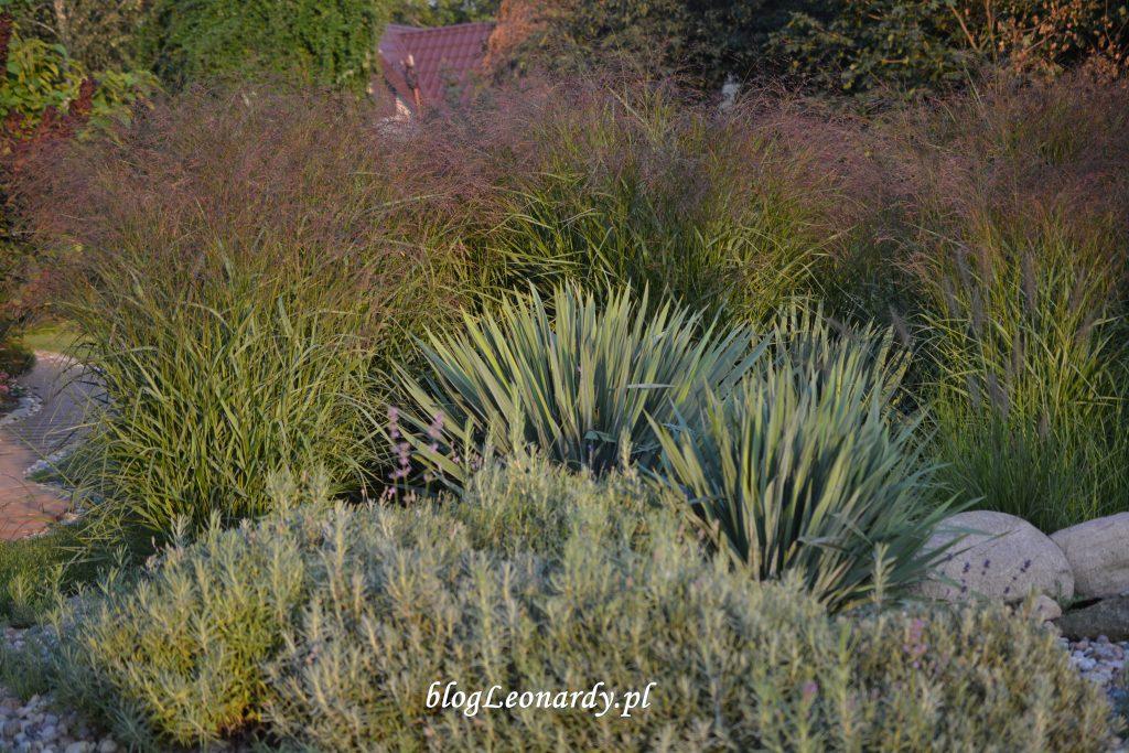 trawy jukki lawendy 33 tydzień