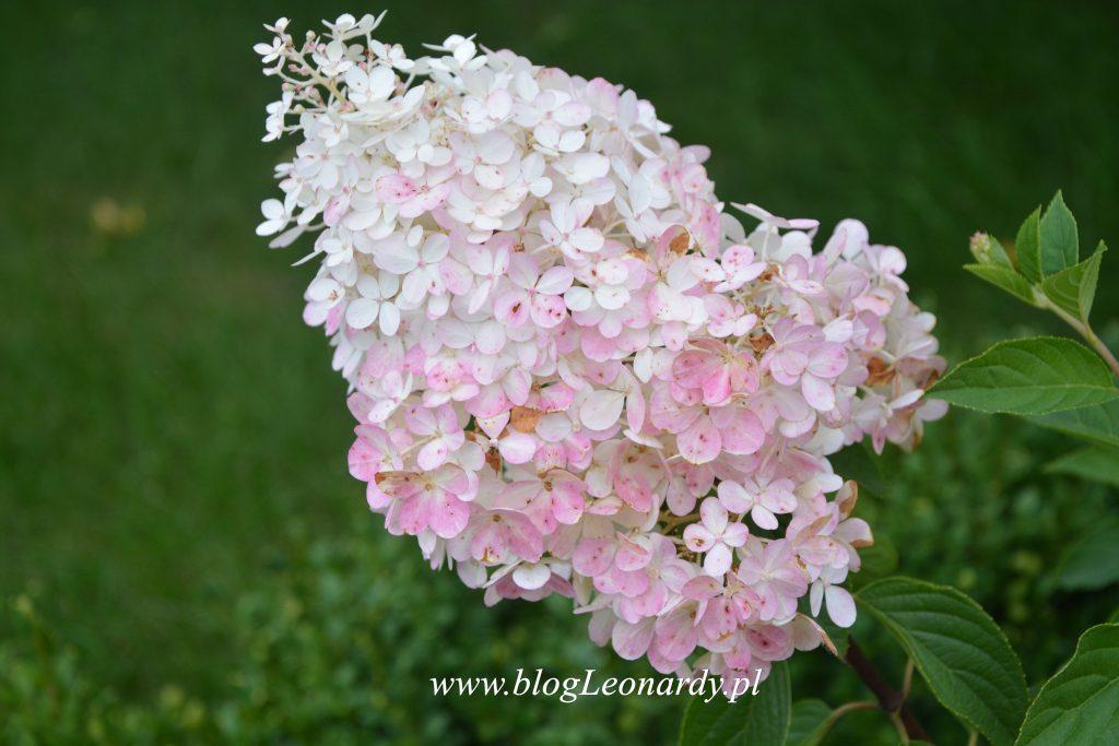 35 tydzień kwiatostan vanilla fraise