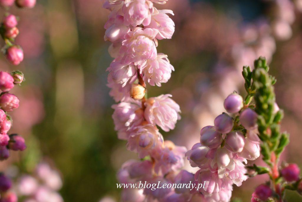 35 tydzień wrzos różowy pełny