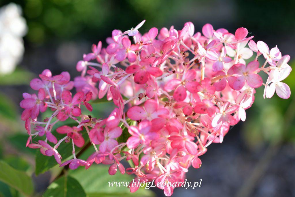 vanille-fraise-kwiatostan