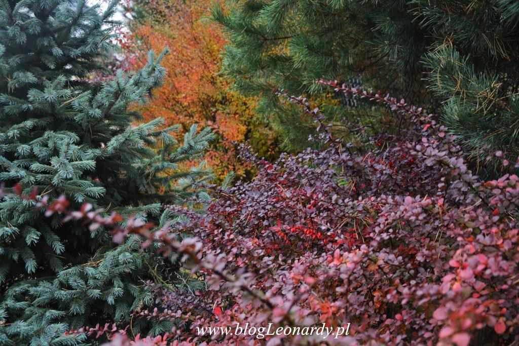 jesienny-berberys-z-tawula