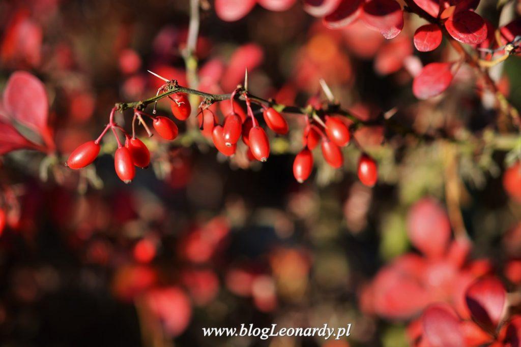 owoce-berberysu