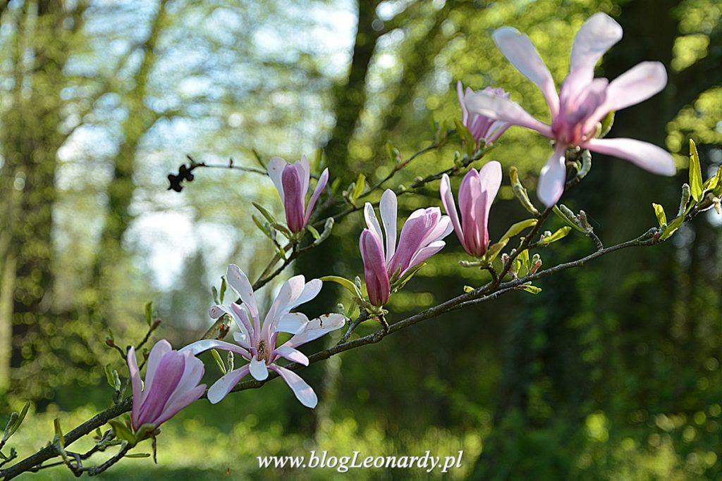 magnolia Magnolie leonard messel