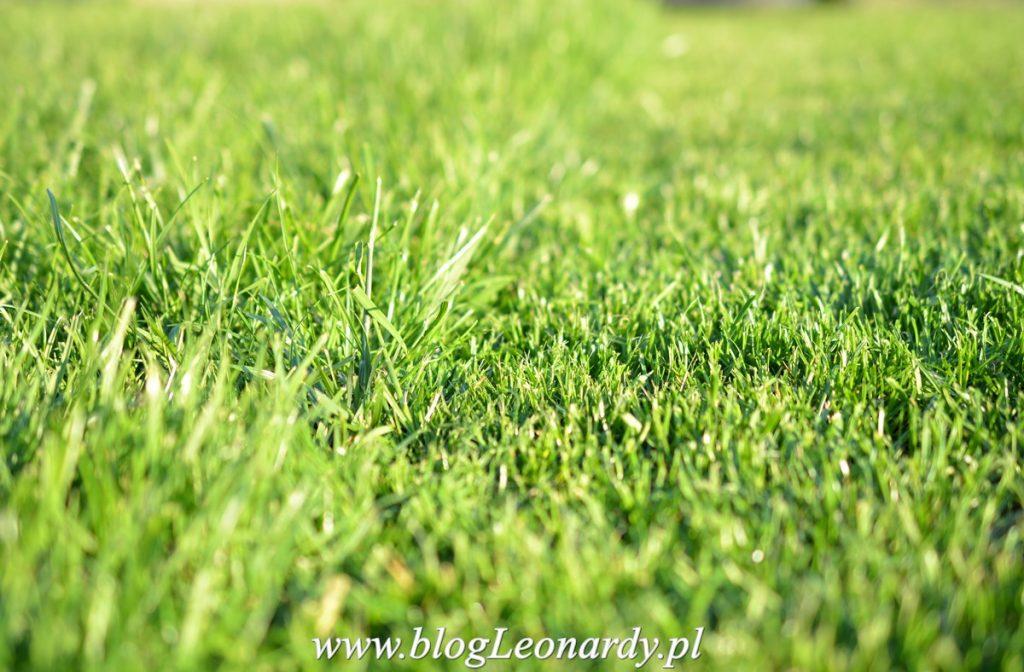 zakładanie trawnika - zielony dywan