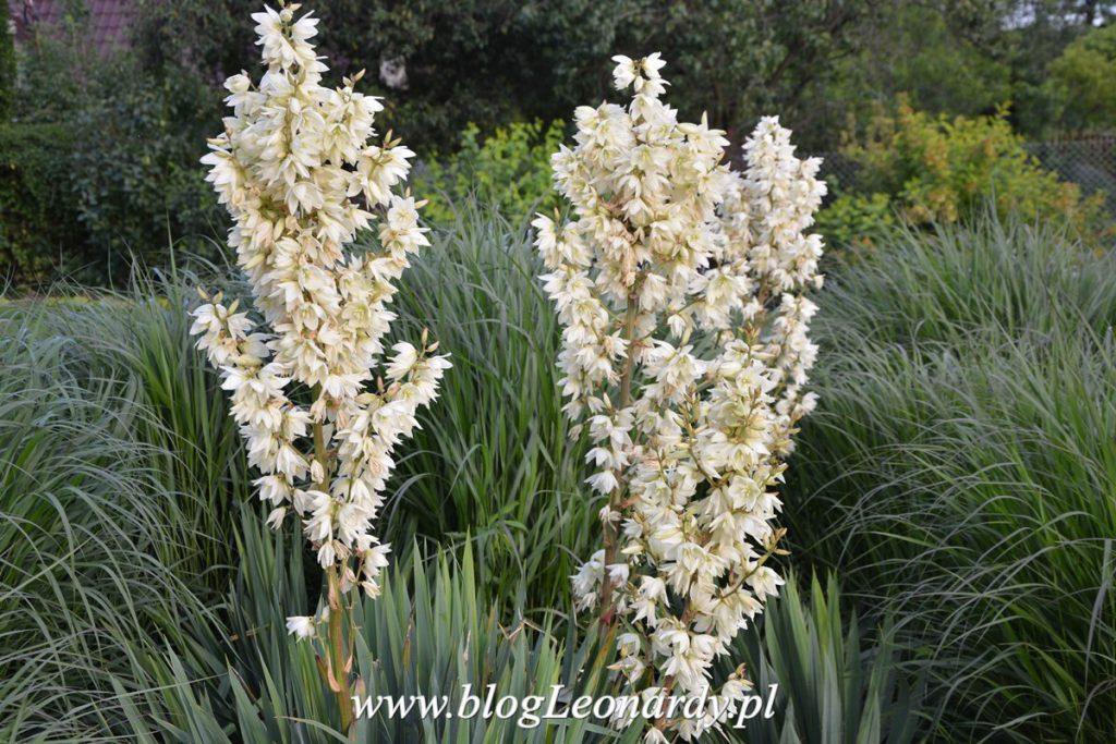 usuwanie jukki - kwitnące rośliny