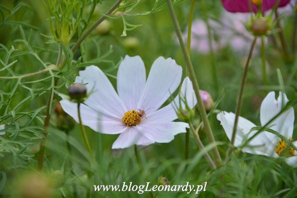 Terminy Wysiewu Nasion Kwiatow Jednorocznych U Leonardy