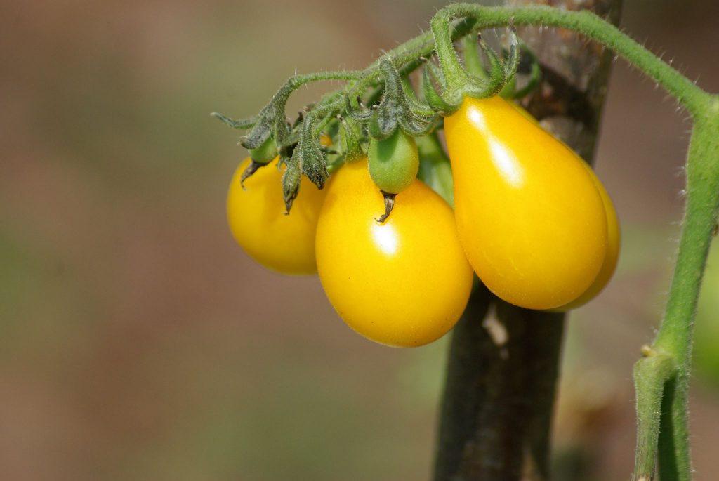 wyniki konkursu - zdjęcie pomidora