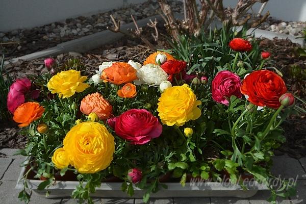 Jaskry - idealne na dekoracje wiosenne donic przed domem